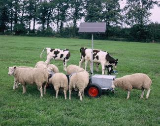 schapen en kalveren bij kleine drinkbak 1